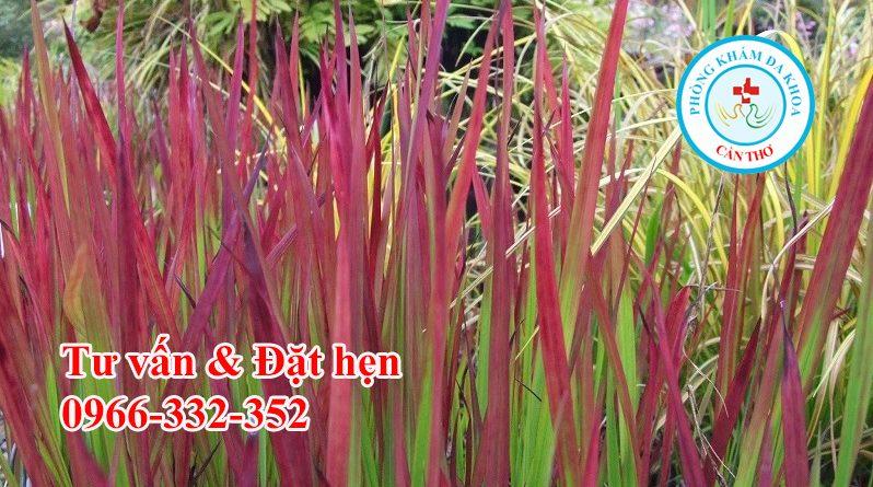 Công dụng của rễ cỏ tranh